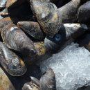 muslinger - plastik i fødekæden